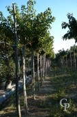 Prunus Kanzan 08 10 07