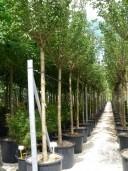 Prunus Kanzan 25 240l
