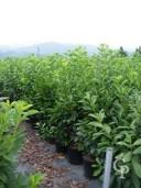 Prunus Lauro  1,25-1,50  18l