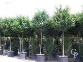 Prunus Laurocerasus 20-25  200l