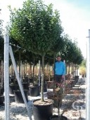 Prunus Laurocerasus 20-25