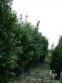Prunus Laurocerasus 3m+