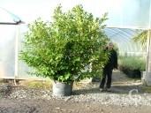 Prunus Laurocerasus 3m