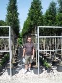 Prunus Lusit 'Angustifolia'   Std   60l
