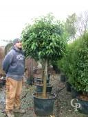 Prunus Lusitanica   Half Standard