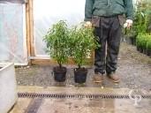 Prunus Lusitanica 'Angustifolia'    80     5l