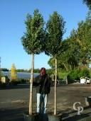 Prunus Lusitanica 'Angustifolia'    Std   60l