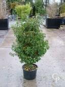 Prunus Lusitanica 'Angustifolia'   1,25  20l