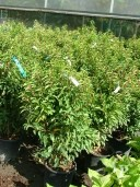 Prunus Lusitanica 'Angustifolia'   10l