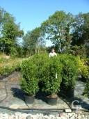 Prunus Lusitanica 25l 1,25+