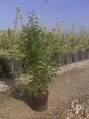Prunus Lusitanica 3l