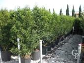 Prunus Lusitanica Clt 30l