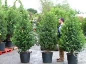 Prunus Lusitanica Extra 50l