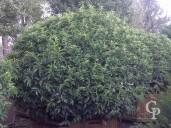 Prunus Lusitanica H Cm 180  L Cm 180 200