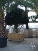 Prunus Lusitanica Spec