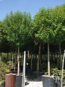 Prunus Lusitanica Std Spec