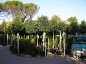 Prunus Lusitanica2