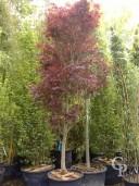 Acer Palm 'Fireglow' 3,00