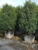 Prunus Lust