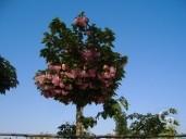 Prunus Std