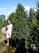 Prunus Lusit Angust C160 250+-