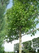 Pyrus Call 'Chanticleer' Extra Pleached Panel 1,80 By 2,00 Std 500l