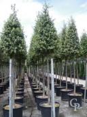 Quercus ilex 2m standard