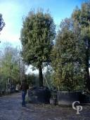 Quercus 100cm