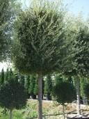 Quercus 30-35