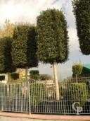 Quercus 40-45