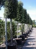 Quercus Ilex   20-25   200l