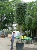 Quercus Ilex   30-35   350l