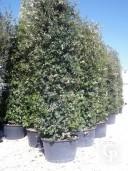 Quercus Ilex  4,00