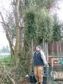 Quercus Ilex 14,16 50l Cylinder