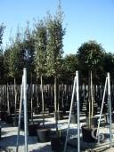 Quercus Ilex 14-16 70l