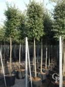 Quercus Ilex 14-16