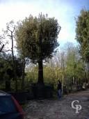 Quercus Ilex 140cm