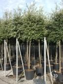Quercus Ilex 16-18