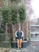 Quercus Ilex 18,20 140l Cyclinder