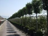 Quercus Ilex 18-20 Cylinder