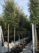 Quercus Ilex 18-20