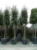 Quercus Ilex 20 200l Extra