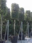 Quercus Ilex 20-25