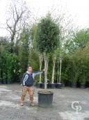 Quercus Ilex 20-25 240l