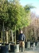 Quercus Ilex 25+  240l