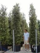 Quercus Ilex 3,50