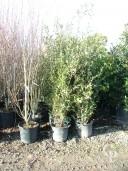 Quercus Ilex 35l