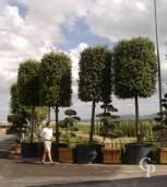 Quercus Ilex 40-45