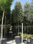Quercus Ilex Cone Std