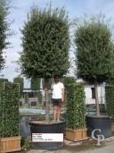 Quercus Ilex Extra 45+
